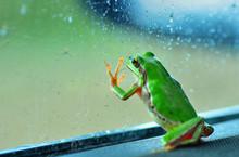 Gray Treefrog In The Green For...