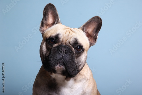 Fotografie, Obraz Bulldog in front of a colored background