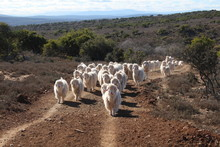 Herd Of Angora Goats That Prod...