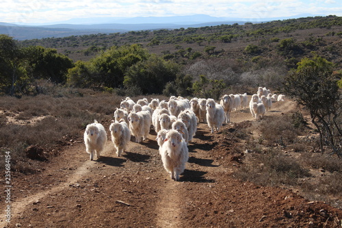 Herd of Angora Goats that produce good quality fine mohair. Wallpaper Mural