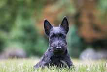 Black Scottish Terrier Puppy Posing Outside At Summer. Young And Cute Terrier Baby.