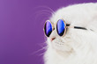 Close portrait of white furry cat in fashion sunglasses. Studio photo. Luxurious domestic kitty in glasses poses on violet background wall. Copy space.