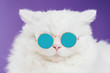 Portrait of highland straight fluffy cat with long hair and round sunglasses. Fashion, style, cool animal concept. Studio photo. White pussycat on violet background.