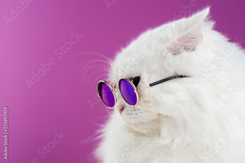Close portrait of white furry cat in fashion sunglasses. Studio photo. Luxurious domestic kitty in glasses poses on pink background wall. Copy space. - 235693959