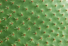 Closeup Of Spines On Cactus, Background Cactus With Spines