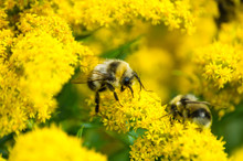 Bumble Bee On Yellow Flowers