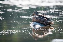 A Female Mallard Duck Resting ...
