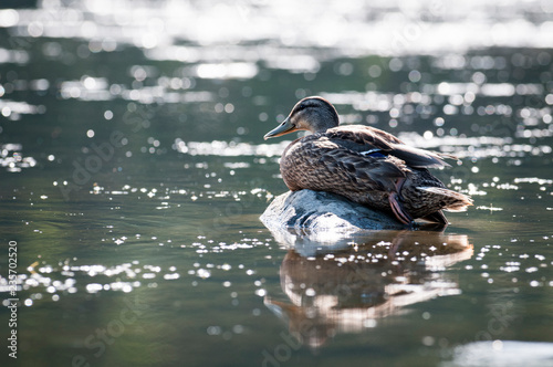 A Female Mallard Duck Resting On The Shores Of The St