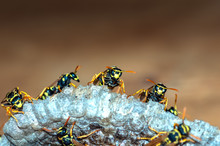 Wasps Build A Nest. Wasp Famil...
