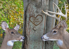 Buck And Doe Whitetail Deer Wi...