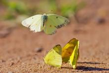 Sulphur Butterflies Playing