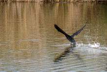 Cormorant Dives In The Water L...