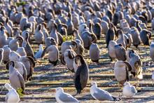 Large Colony Of Cormorants On A Pier In Oamaru, Otago, South Island, New Zealand