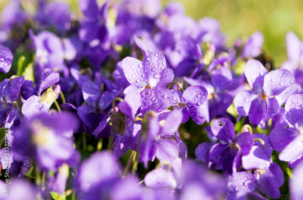 Fototapety, obrazy: violets flowers blooming