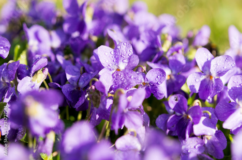violets flowers blooming