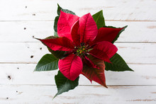 Christmas Poinsettia Flower On White Wooden Table. Top View.