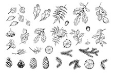 Set Of Botanical Elements. Oak...
