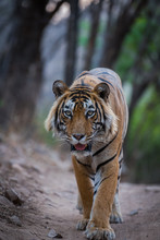 A Dominant Male Tiger On Terri...
