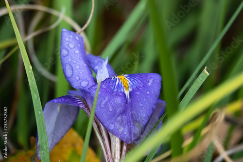 Algerian Iris Flowers in Bloom
