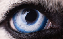 Macro Photo Of Blue Eye Siberi...