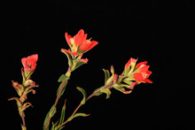 Indian Paintbrush (Castilleja Indivisa)
