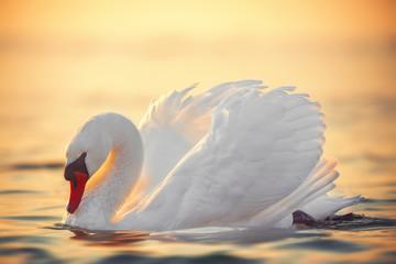 swan in the sea water, beautiful sunrise shot