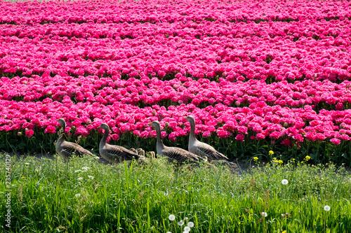 Spoed Fotobehang Roze Tulpen