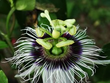 Passionfruit Flower (Passiflor...