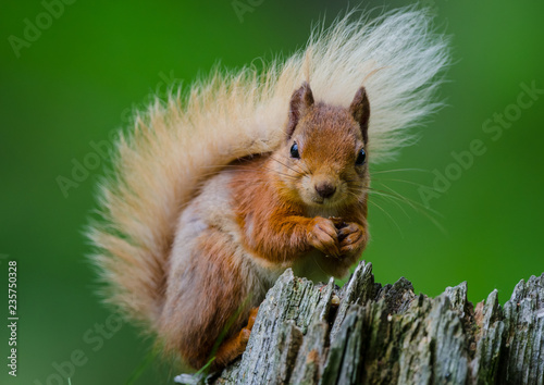 Printed kitchen splashbacks red squirrel on a tree stump