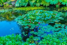 Water Lily Pads Van Dusen Garden Vancouver British Columbia Canada