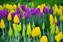 Early Spring Tulips.  Yellow A...