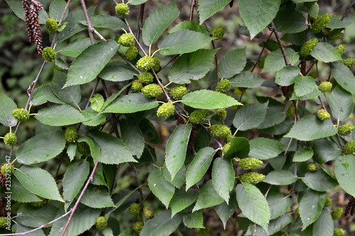 Birch cherry (Betula lenta L.). Branches with green earrings and leaves