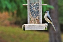 A Single Tufted Titmouse (Baeo...