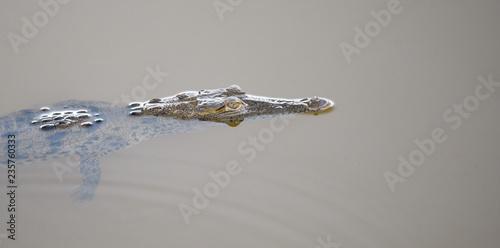 Fotobehang Krokodil Young crocodile (Crocodylus acutus ) in its habitat waters in wild Panama rain forest river.