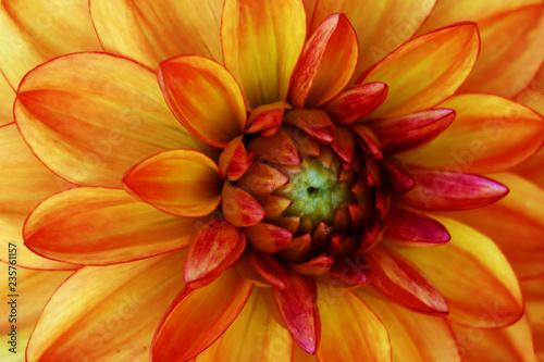A single dahlia flower with bright red and orange petals.