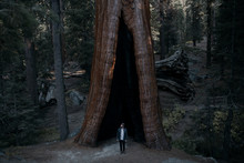 Giant Tree In The Forest