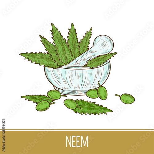 Foto  Neem. Leaves, fruit. Mortar. Color pattern. Sketch.