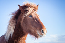 Hardy Icelandic Horse