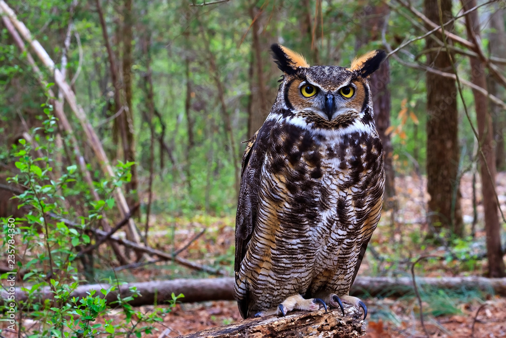 Fototapeta Great Horned Owl Standing on a Tree Log