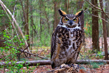 Great Horned Owl Standing On A...