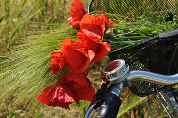Red poppies and a bicycle. Flowers in the field. Bouquet of scarlet poppies