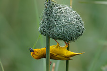 Yellow Weaver Building A Nest In A Small Lake Near Mkuze In South Africa