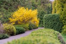 Yellow Forsythia Bush During B...
