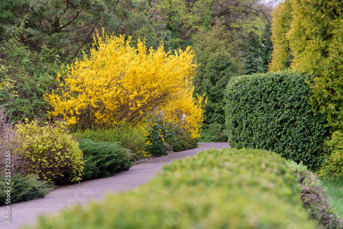 yellow forsythia bush during blossoming Fototapet