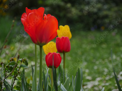 Poster Printemps Tulipes du jardin
