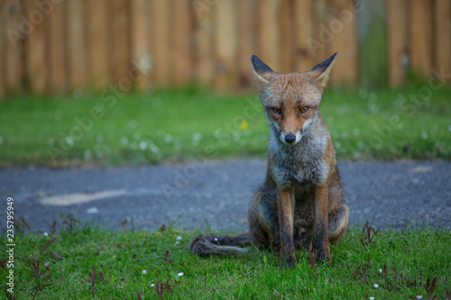 Photo  red fox in grass