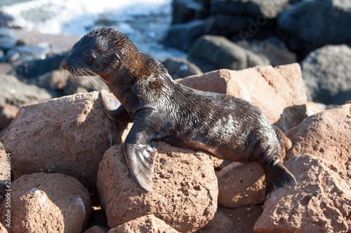 Photo  Baby seal on the rocks of North Seymour, Galapagos Islands