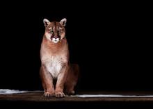Portrait Of Beautiful Puma, Puma In The Dark. American Cougar