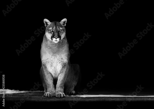 Spoed Fotobehang Puma Portrait of Beautiful Puma, Puma in the dark. American cougar