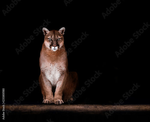 Poster Puma Portrait of Beautiful Puma, Puma in the dark. American cougar